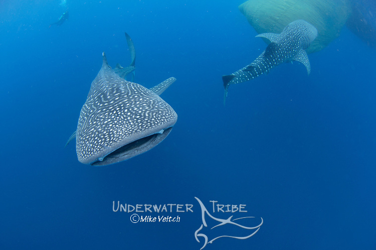 Whale Sharks, Rhincodon typus, under a fishing platform, these sharks are friends with the fishermen who hand feed them at Cendrawasih Bay, West Papua, Indonesia, Pacific Ocean