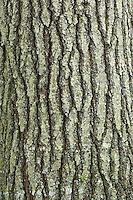 Eastern White Pine Tree (Pinus strobus Linnaeus) bark closeup, Algonquin Provincial Park, northern Ontario, Canada.