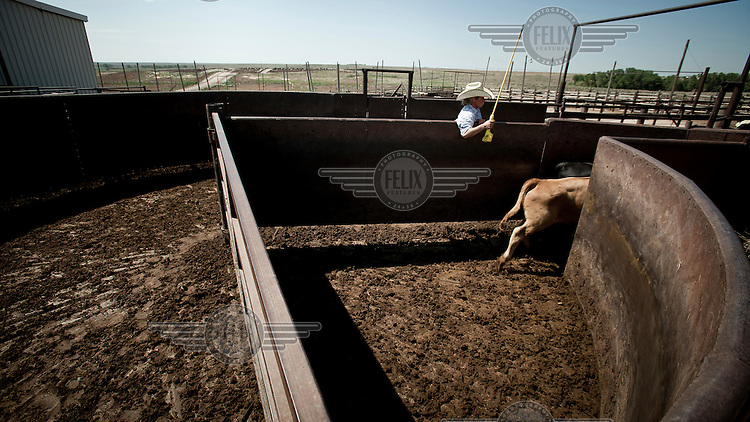 A cowboy in a feedyard in Mead, Kansas, moves cattle through a series of pens. A feedyard is part of the factory farming process where animals are fattened up prior to slaughter. They are mostly fed on corn or corn dervived products gaining between 2.5 and 4.5 pounds per day. 25% of all American beef is produced in Kansas....