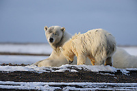 A mother polar bear checks out her cub while sitting on a barrier island outside Kaktovik, Alaska. Every fall, polar bears gather near the community, on the northern edge of ANWR, waiting for the Arctic Ocean to freeze. The bears have become a symbol of global warming.