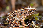 Mascarene Grass Grog or Mascarene Ridged Frog, Ptychadena mascareniensis, on rainforest floor, Ranomafana National Park, Madagascar, Least Concern on the IUCN Red List