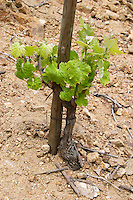 The vineyard of Pierre Gaillard in Malleval where he makes wines of the appellations Cote Rotie, Condrieu, and Saint Joseph.  On the plateau, high lying land, above the actual Rhone valley along the river. A young vine, maybe three years old This particular vineyard is in Saint Joseph.  Domaine Pierre Gaillard, Malleval, Ardeche, Ardeche, France, Europe
