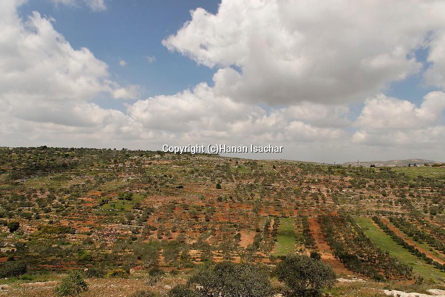 Samaria, Olive grove near Tapuach junction