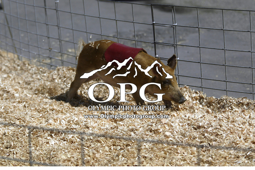August 21, 2003 : Cook's Racing pigs was a crowd favorite at the Kitsap County Fair in Bremerton, Washington.  The pigs raced for treats of ice cream.