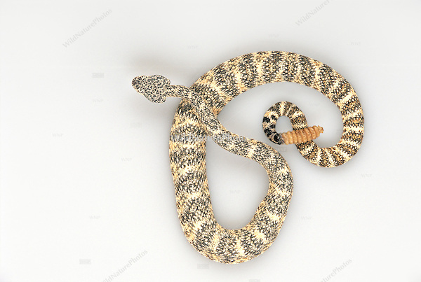 Southwestern Speckled Rattlesnake, Crotalus mitchellii pyrrhus, studio portrait, ideal for cutout