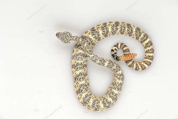 Southwestern Speckled Rattlesnake, Crotalus mitchellii pyrrhus, studio portrait, ideal for cutout