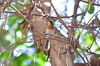 Broad-Billed Flycatcher, Katherine, NT, Australia