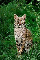 611004023 a wildlife rescue bobcat felis rufus sits in tall grasses in florida - animal is a wildlife rescue - species is native to the new world