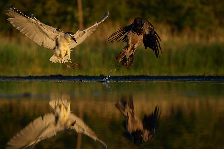 Black-capped Night heron, Nycticorax nycticorax, and Common crow, Corvus corone cornix, Pusztaszer protected landscape, Kiskunsagi, Hungary
