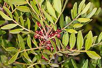 Mastix-Strauch, Früchte, Mastixstrauch, Mastix, Wilde Pistazie, Pistacia lentiscus, Terebinthus lentiscus, Mastic, Mastic Tree, Mediterran, Macchia
