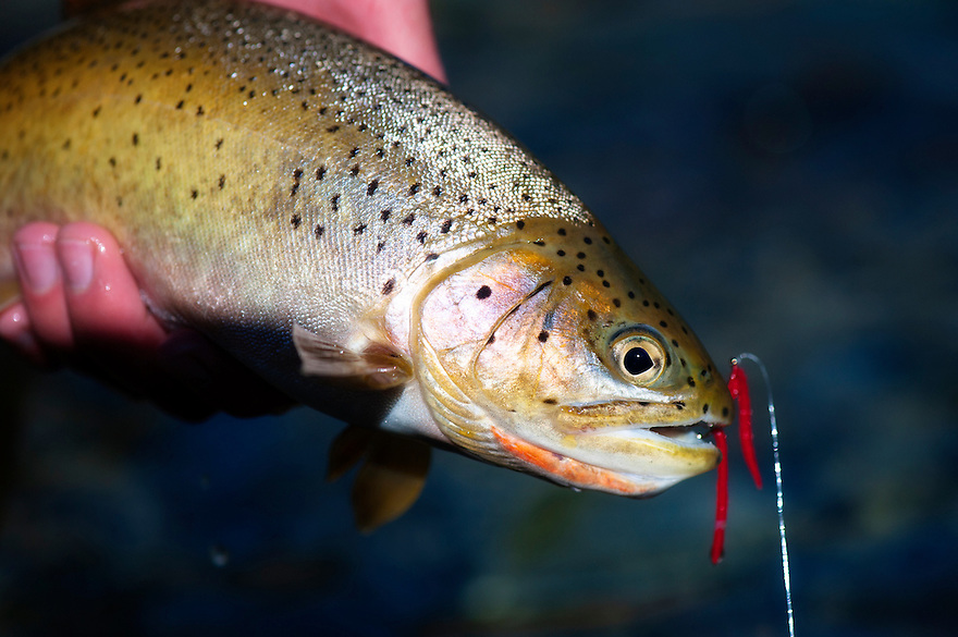 The westslope cutthroat trout took a San Juan Worm on the North Fork of the Blackfoot River near Missoula, Montana.