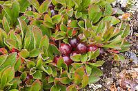 Alpen-Bärentraube, Alpenbärentraube, Früchte, Arctostaphylos alpina, Arctostaphylos alpinus, Arctous alpina, Alpine Bearberry, Busserolle des Alpes