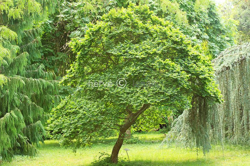 Arboretum des Barres ou Arbofolia, dans le Bizarretum, orme de Hollande 'Jacqueline Hillier', Ulmus hollandica 'Jacqueline Hillier', planté en 1998 (±3m haut) // Ulmus hollandica 'Jacqueline Hillier', Dutch Elm 'Jacqueline Hillier'