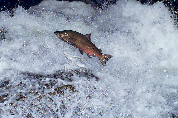 Chinook salmon (Oncorhynchus tshawytscha) leaping falls during migration to its spawning area.  Pacific Northwest.