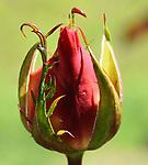 Easter Roses