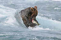 A brown bear eats salmon while protecting his fishing spot at the McNeil River Falls, in Alaska's McNeil River State Game Sanctuary.