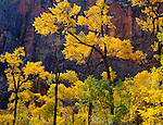 Zion National Park, UT<br /> Gold and green cottonwoods (Populus fremontii) and Navajo sandstone walls of the Temple of Sinawava