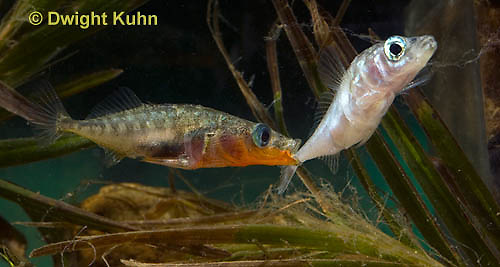 1S47-536z Threespine Stickleback, male courting gravid female with a zigzag dance, she responds with a head-up posture to display her swollen belly, Gasterosteus aculeatus