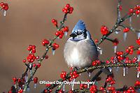 01288-04213 Blue Jay (Cyanocitta cristata) in icy Green Hawthorn (Crataegus virdis) tree  Marion Co.  IL