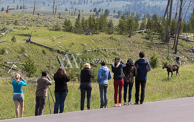 Tourists watch a moose in Yellowstone.