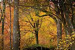Europa, DEU, Deutschland, Nordrhein Westfalen, NRW, Eifel, Nordeifel, Hirschrott, Nationalpark Eifel, Herbst, Wald.  Kategorien und Themen, Natur, Umwelt, Landschaft, Jahreszeiten, Stimmungen, Landschaftsfotografie, Landschaften, Landschaftsphoto, Landschaftsphotographie, Tourismus, Touristik, Touristisch, Touristisches, Urlaub, Reisen, Reisen, Ferien, Urlaubsreise, Freizeit, Reise, Reiseziele, Ferienziele<br /> <br /> [Fuer die Nutzung gelten die jeweils gueltigen Allgemeinen Liefer-und Geschaeftsbedingungen. Nutzung nur gegen Verwendungsmeldung und Nachweis. Download der AGB unter http://www.image-box.com oder werden auf Anfrage zugesendet. Freigabe ist vorher erforderlich. Jede Nutzung des Fotos ist honorarpflichtig gemaess derzeit gueltiger MFM Liste - Kontakt, Uwe Schmid-Fotografie, Duisburg, Tel. (+49).2065.677997, archiv@image-box.com, www.image-box.com]