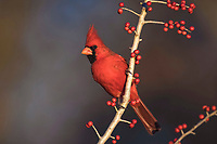 northern cardinal, Cardinalis cardinalis, male eating Possum Haw Holly berries, Ilex decidua, Bandera, Hill Country, Texas, USA, North America