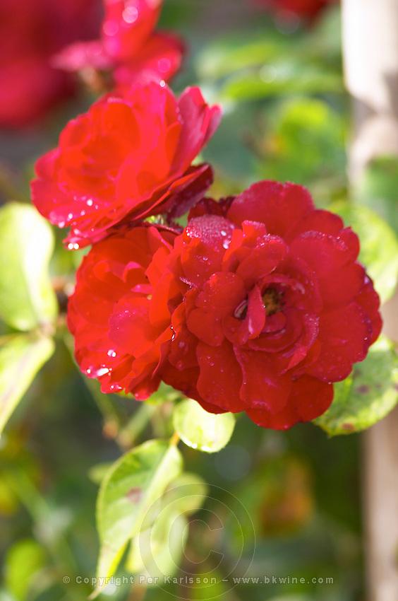 Rose in the vineyard. Chateau la Grace Dieu les Menuts, Saint Emilion, Bordeaux, France
