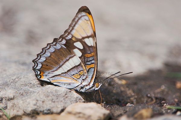California sister, Adelpha bredowii, adult drinking water, Uvalde County, Hill Country, Texas, USA, April 2006