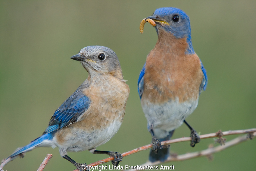 Male eastern bluebird feeding a mealworm to his mate