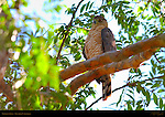 Cooper's Hawk, Chicken Hawk, Southern California