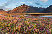 Dwarf fireweed, or river beauty, along the Marsh Fork of the Canning River in the Arctic National Wildlife Refuge in the Brooks Range mountains, Alaska.