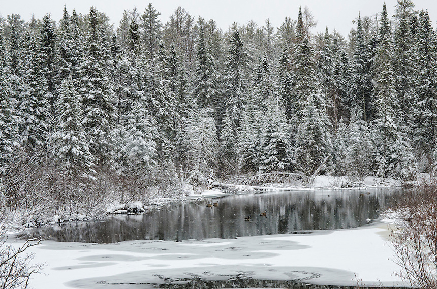 A mid-April snow storm blankets area trees and leaves beautiful reflections in this spring-fed pond. Marquette County, Michigan.