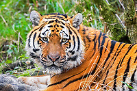 Siberian tiger, Amur tiger, Panthera tigris altaica, adult, with wild boar kill