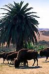 Herd of free roaming Buffalo under palm tree at Little Harbor Campground, Catalina Island, California