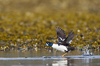 Male barrow's goldeneye duck in breeding plumage takes flight along the shore of Prince William Sound, southcentral, Alaska