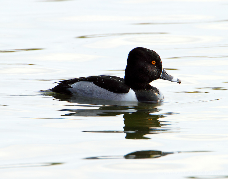 Adult male ring-necked duck