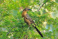 538750050 wild female great-tailed grackle quisicalus mexicanus perches in a tall tree in the rio grande valley of south texas