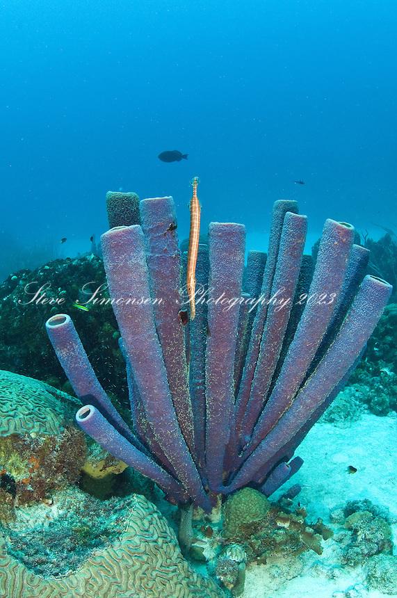 PURPLE TUBE SPONGE (Aplysina lacunosa)<br /> Angel City dive site on Bonaire<br /> Netherland Antilles