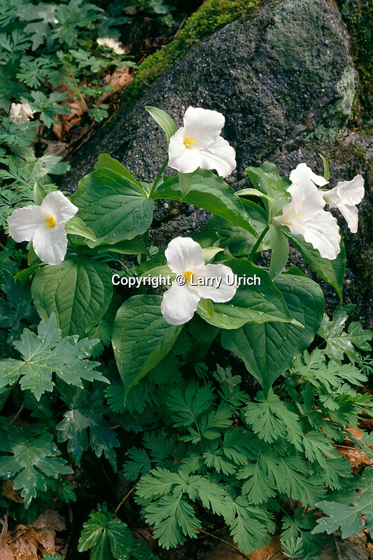 Large-flowered trillium<br />