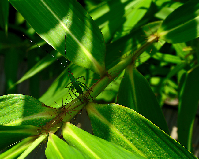 A green insect with red eyes and long segmented antenae sits camoflaged on the stock of a green leafed plant enhanced with sun and shadows North Carolina Botanical Garden.