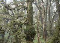 Goblin forest on Panekiri  Range, Te Urewera, Hawke's Bay, North Island, New Zealand, NZ