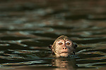A Toque Macaque takes a refreshing swim in a hidden pool on top of the Gal Vihara statues at the Pollonaruwa reserve, Sri Lanka. IUCN Red List Classification: Endangered