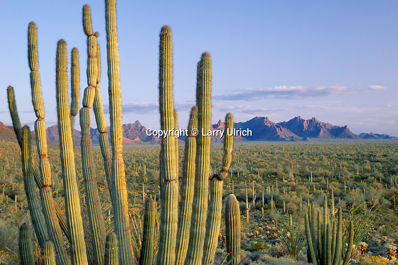 Organ pipe cactus<br />