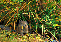 American Pika (Ochotona priceps) eating grass, Edith Creek Basin, Paradise, Mount Rainier National Park, Washington.