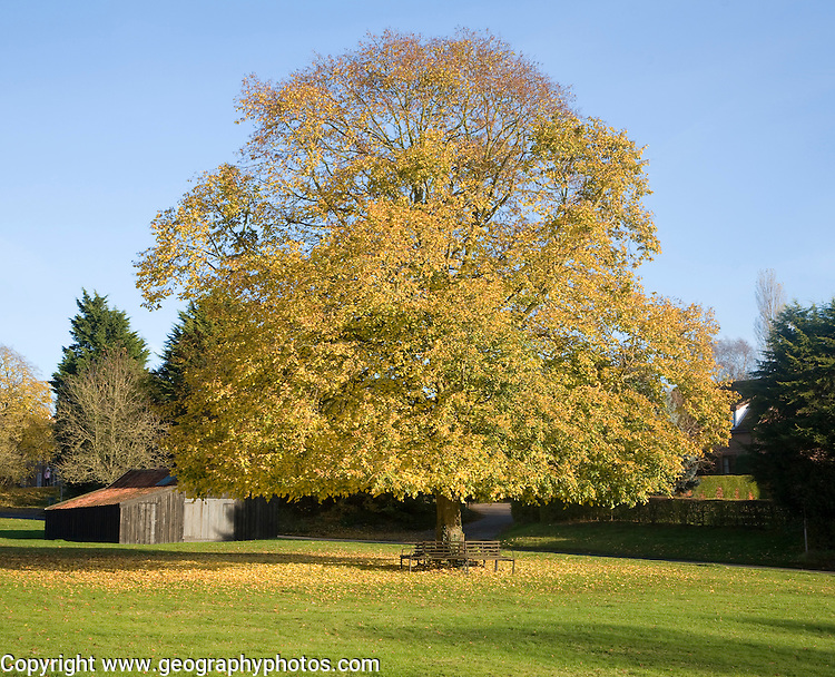Large lime tree in autumn leaf on the village green in Westleton, Suffolk, England