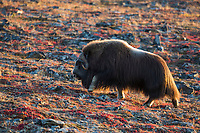 Muskox on the tundra in Nome, Alaska.