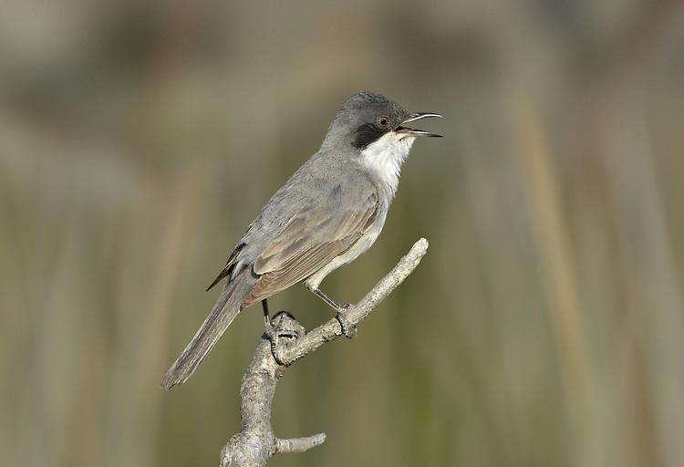 Eastern Orphean Warbler - Sylvia crassirostris