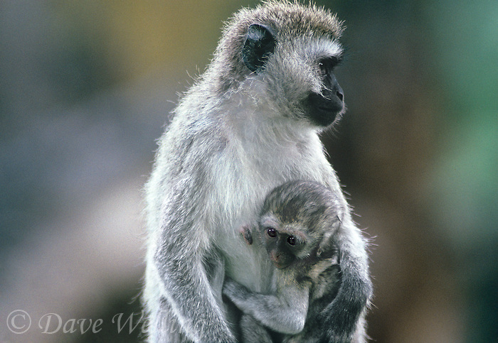 660370006 a wild vervet monkey mother cercopithecus aethiops protects her young baby in ngorogoro crater reserve in tanzania