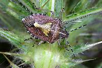 Beerenwanze, Beeren-Wanze, Dolycoris baccarum, sloe bug, sloebug, Baumwanzen, Pentatomidae, stink bugs