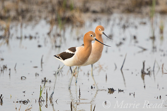 American Avocet (Recurvirostra americana), pair walking in wetland, Bear River Migratory Bird Refuge, Utah, USA